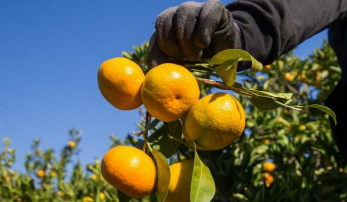 Epidemiolozi za sezonu berbe mandarina: Prednost pri branju treba dati cijepljenima