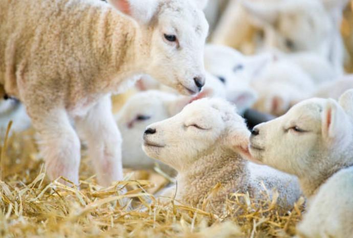 Čovjeku kojem je grom pobio stado ovaca donirali 50 mladih janjaca