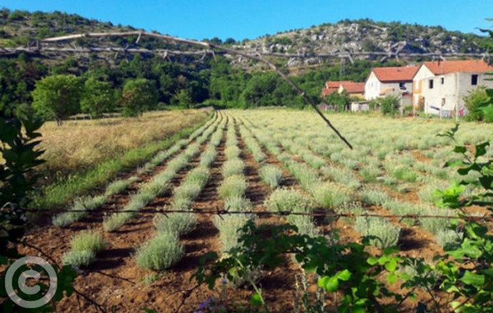 U Hercegovini su mnogi odustali od sadnje smilja i ostalog ljekovitog bilja