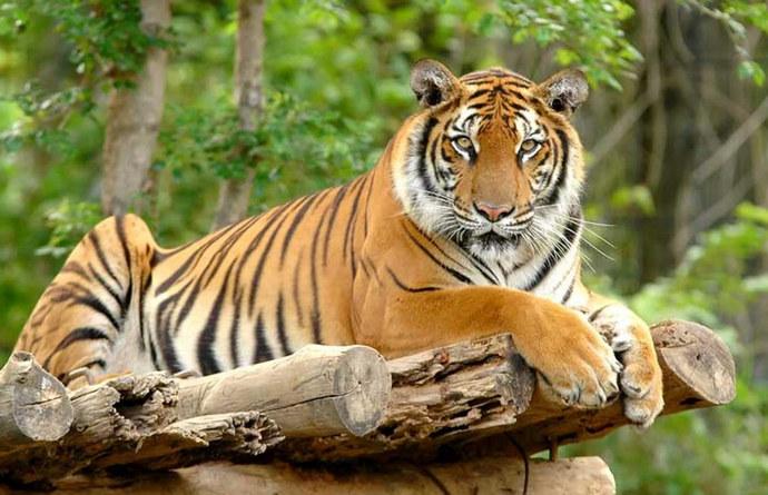 Muškarac u Bangladešu uhićen nakon 20 godina potrage zbog ubojstva 70 bengalskih tigrova